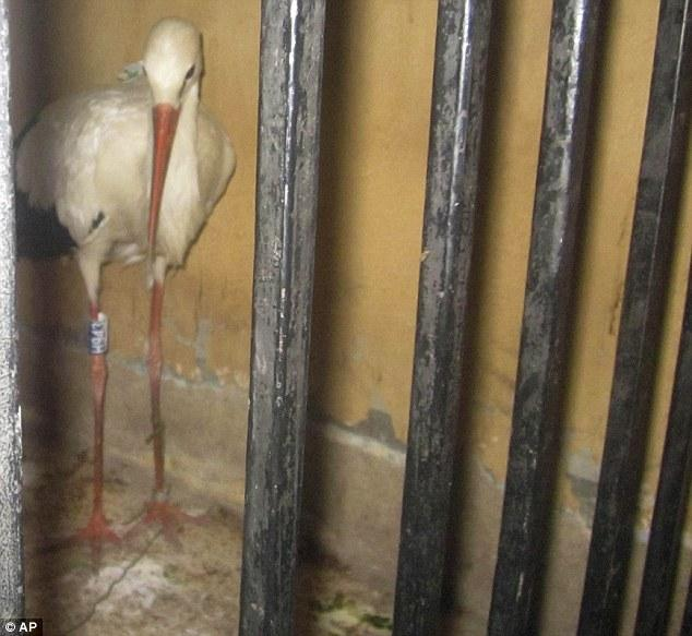 A migrating stork held in a police station after being suspected of espionage, in Qena governorate, Southern Egypt © Associated Press