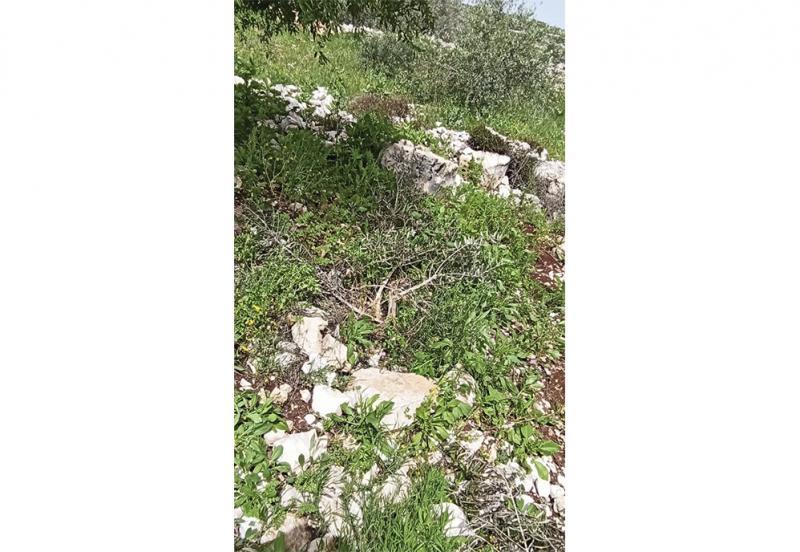 Olivos destrozados en la tierra de Akef, marzo de 2020