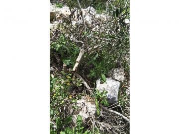 Vandalised olive trees on Akef's land, March 2020